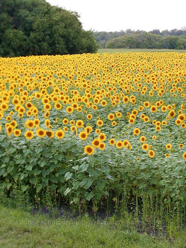 sunflowers [Highway 27, Alexandria, Minnesota]