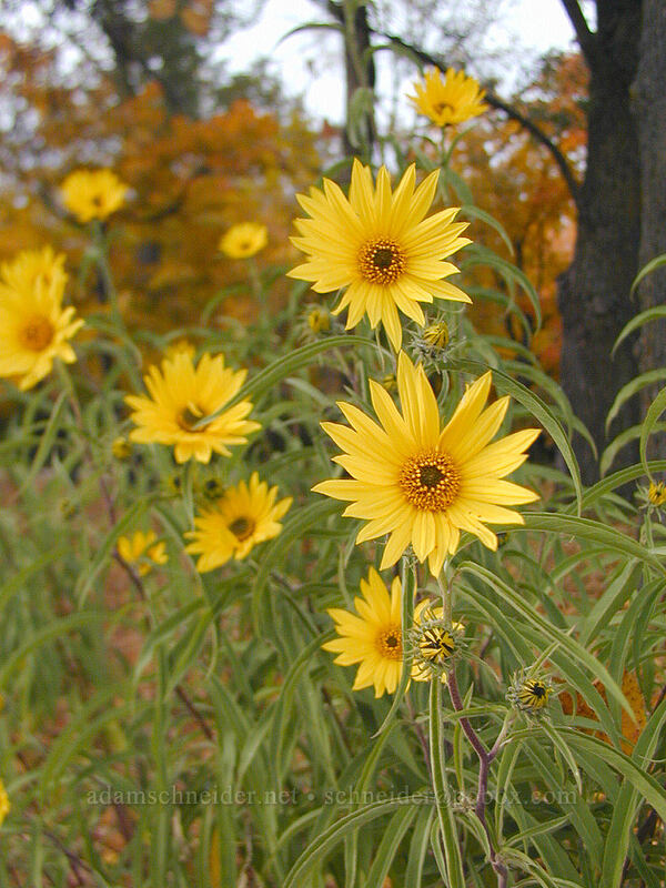 autumn sunflowers [Lake L'Homme Dieu, Alexandria, Minnesota]