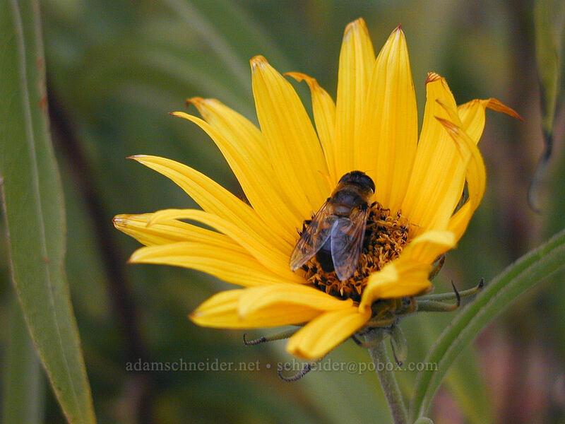 autumn sunflower & bee [Lake L'Homme Dieu, Alexandria, Minnesota]