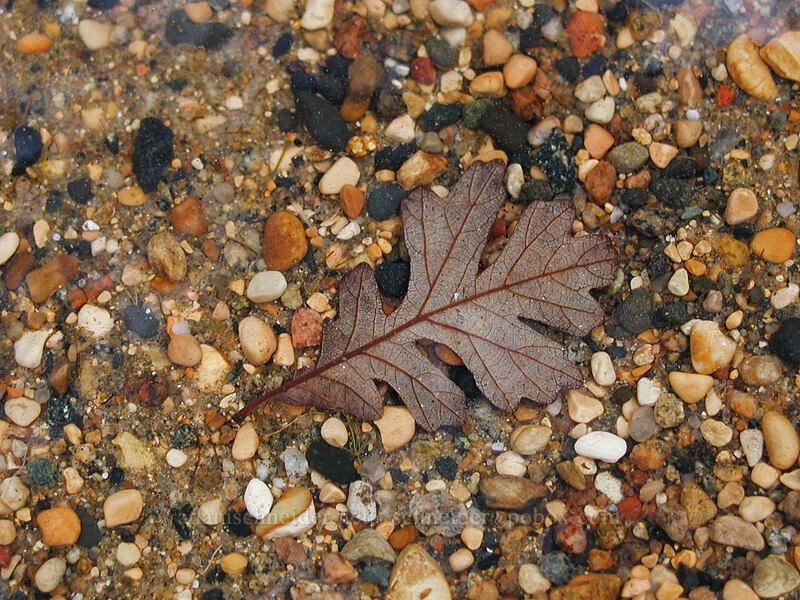 oak leaf under water [Lake L'Homme Dieu, Alexandria, Minnesota]