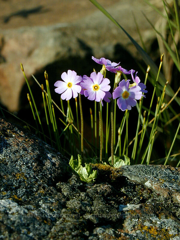 bird's-eye primrose (Primula mistassinica) [Artist's Point, Grand Marais, Minnesota]