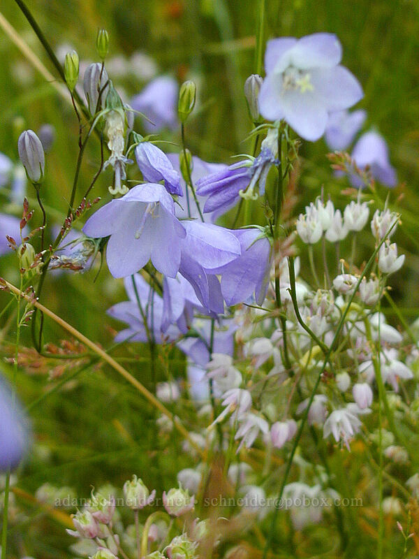 harebells & onions (Campanula rotundifolia, Allium cernuum) [Crown Point, Multnomah County, Oregon]
