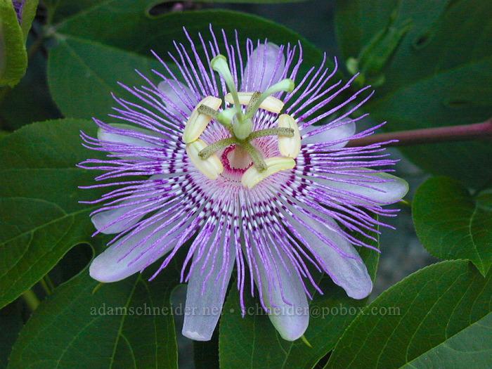 passion flower (Passiflora sp.) [Smithsonian Butterfly Garden, Washington, DC]
