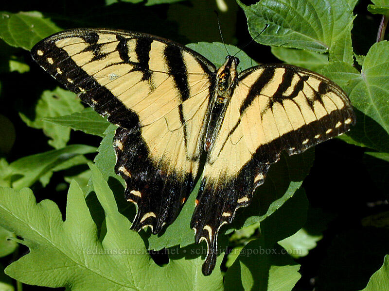 tiger swallowtail (Papilio glaucus) [Goodrich Ave., Saint Paul, Minnesota]