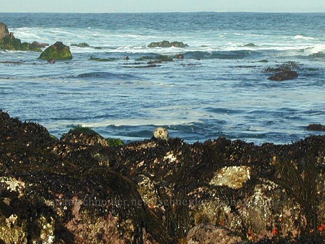 sea otter (Enhydra lutris) [Point Piños, Pacific Grove, California]