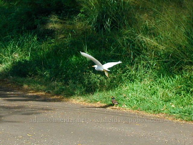 Cattle egret & myna bird (Bubulcus ibis, Acridotheres tristis) [Wawae Road, Kalaheo, Kaua'i, Hawaii]