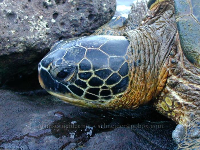 Sea turtle (Chelonia mydas) [Koloa Landing, Po'ipu, Kaua'i, Hawaii]