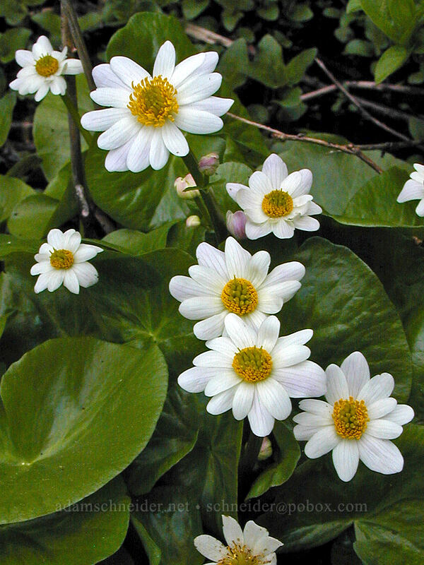 White marsh-marigold (Caltha leptosepala) [Mirror Lake, Mt. Hood National Forest, Oregon]