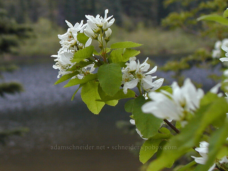 Serviceberry blossoms (Amelanchier alnifolia) [Mirror Lake, Mt. Hood National Forest, Oregon]