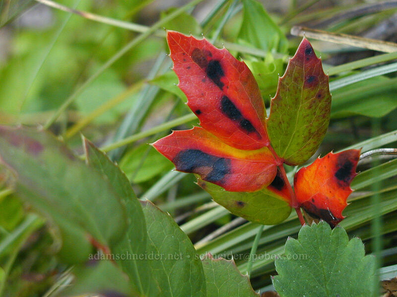 Oregon grape leaves (Mahonia sp. (Berberis sp.)) [Tom Dick & Harry Mountain, Mt. Hood National Forest, Oregon]