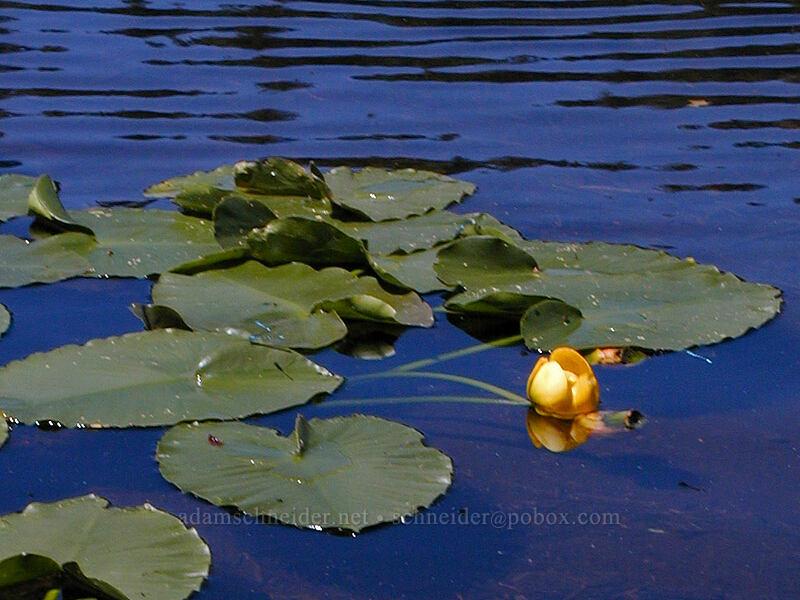 yellow pond lily (Nuphar polysepala) [Burnt Lake, Mt. Hood Wilderness, Oregon]