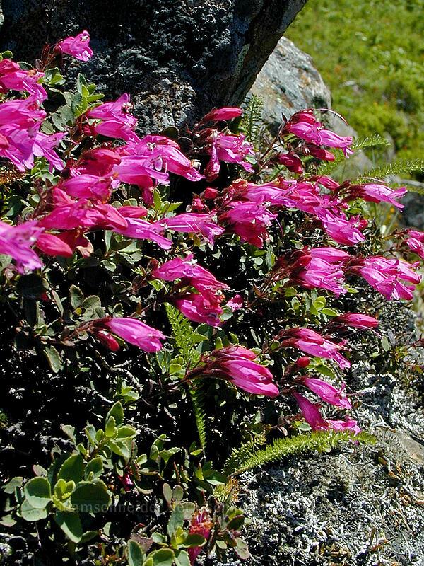 rock penstemon (Penstemon rupicola) [Bald Mountain, Mt. Hood Wilderness, Oregon]