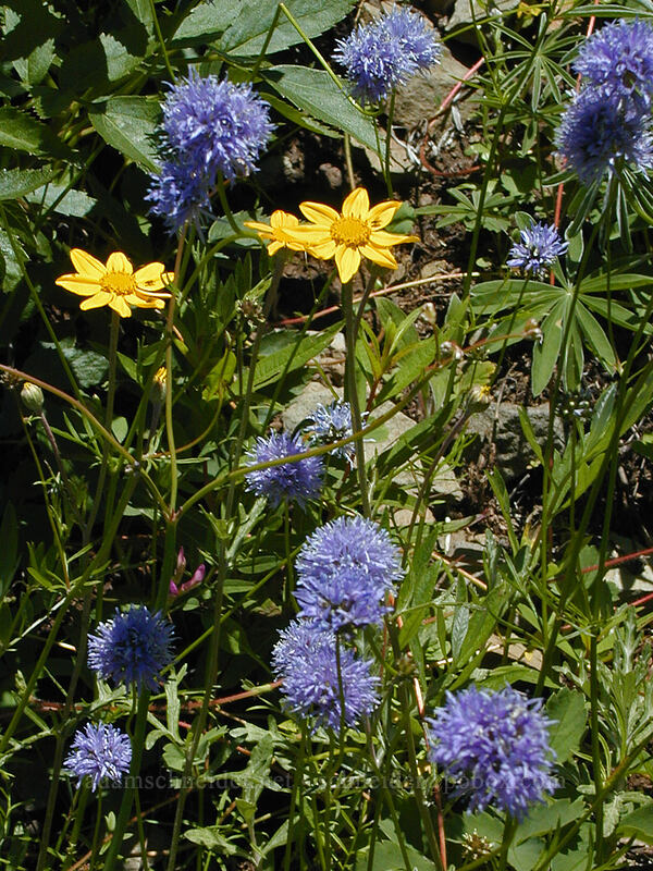 blue-head gilia & Oregon sunshine (Gilia capitata, Eriophyllum lanatum) [Bald Mountain, Mt. Hood Wilderness, Oregon]