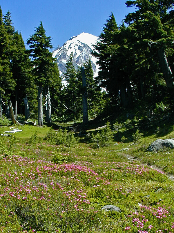 heather-filled meadow (Phyllodoce empetriformis) [McNeil Point trail, Mt. Hood Wilderness, Oregon]