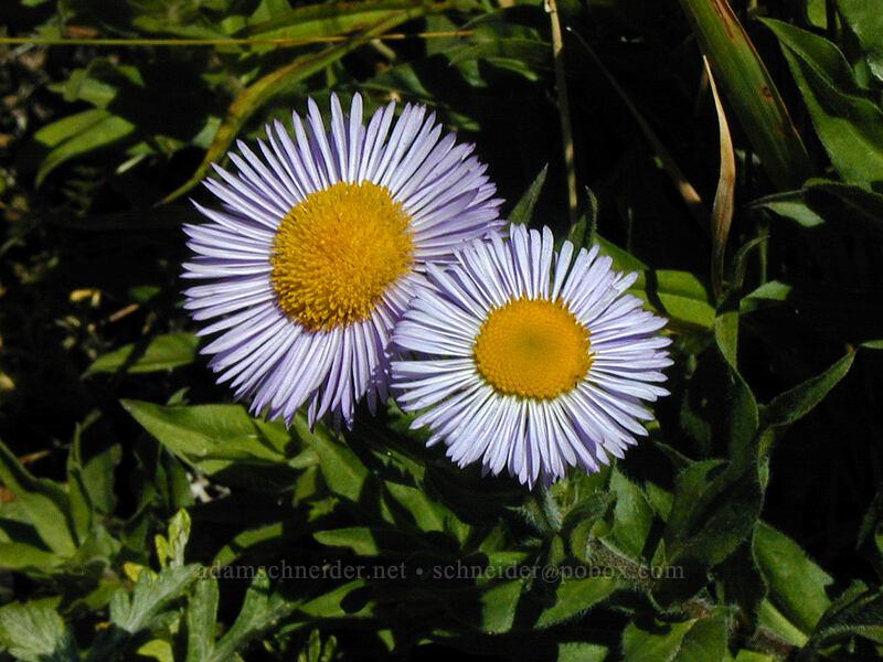 Alice's fleabane (Erigeron aliceae) [Saddle Mountain, Clatsop County, Oregon]