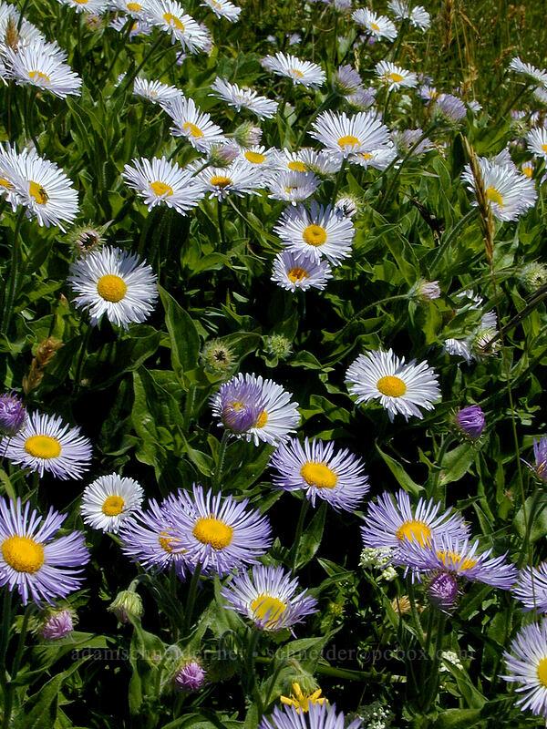 Alice's fleabane (Erigeron aliceae) [Saddle Mountain summit, Clatsop County, Oregon]