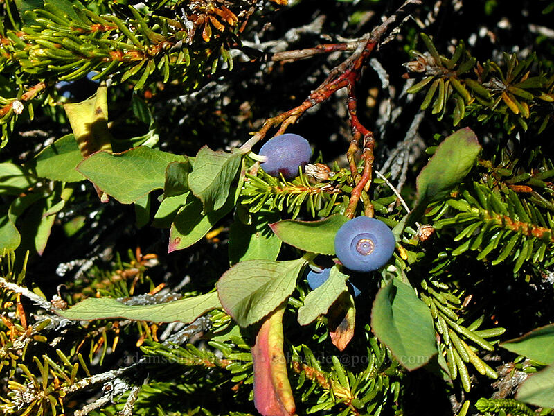 blueberries that tasted like apples (Vaccinium sp.) [Wy'east Basin, Mt. Hood Wilderness, Oregon]