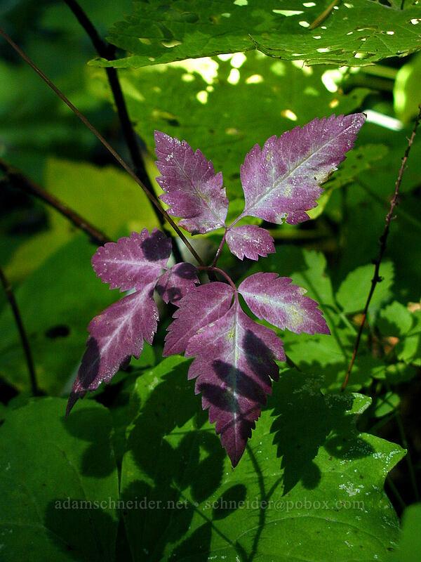 purple leaves [Elk Meadows Trail, Mt. Hood Wilderness, Oregon]
