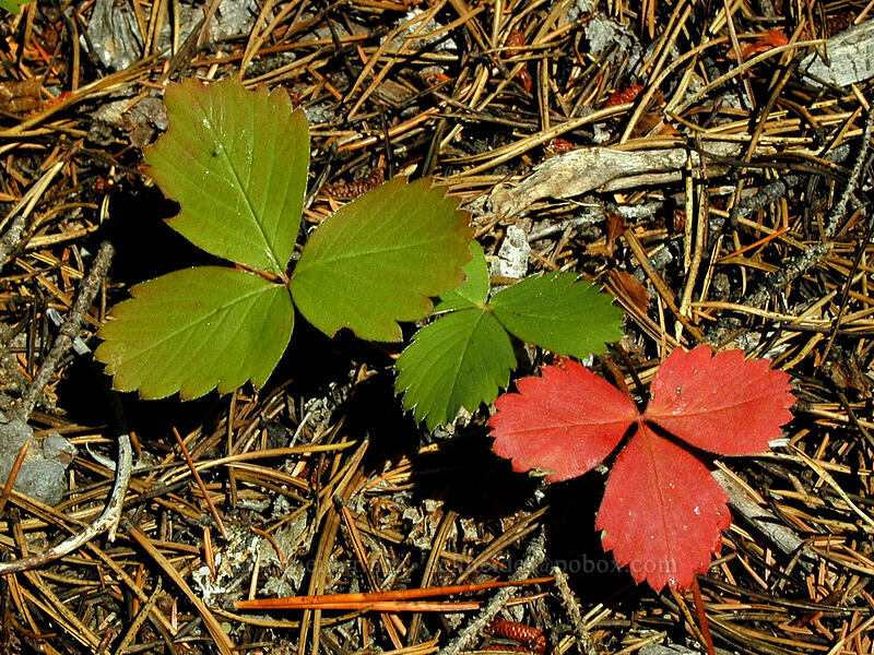 strawberry leaves (Fragaria sp.) [Elk Meadows Trail, Mt. Hood Wilderness, Oregon]