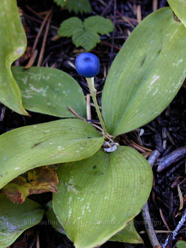 Bead lily (Queen's cup) berry [Elk Meadows Trail, Mt. Hood Wilderness, Oregon]