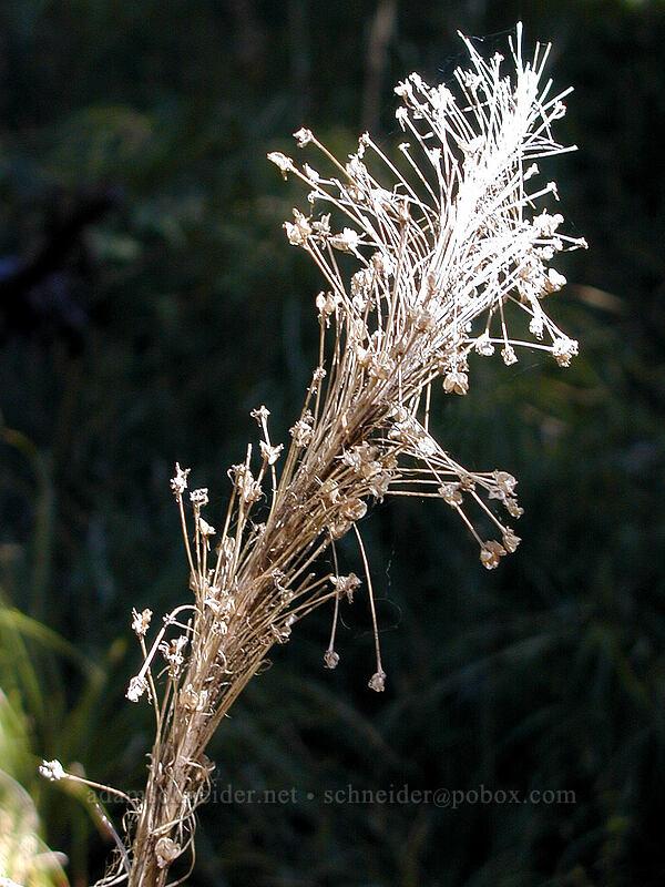 Dried beargrass plume [Elk Meadows Trail, Mt. Hood Wilderness, Oregon]