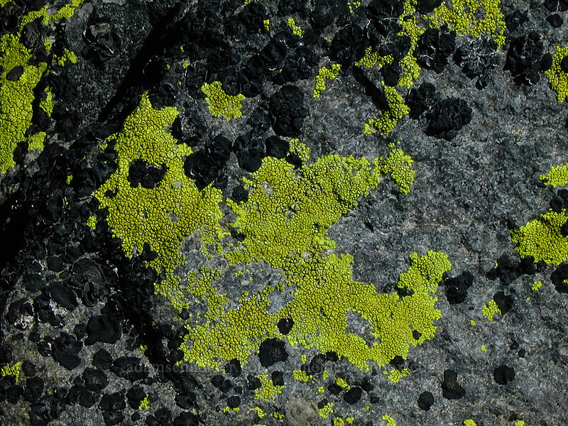 Lichen [Gnarl Ridge, Mt. Hood Wilderness, Oregon]