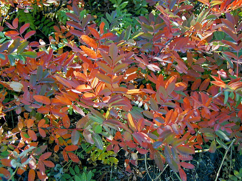 Mountain ash leaves [Gnarl Ridge, Mt. Hood Wilderness, Oregon]