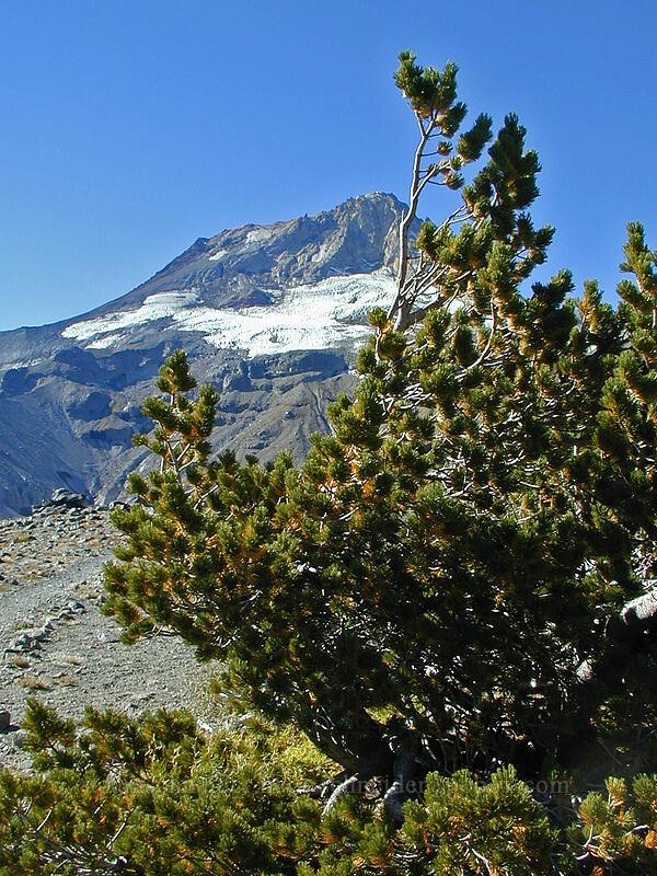 Whitebark pine & Mount Hood [Gnarl Ridge, Mt. Hood Wilderness, Oregon]