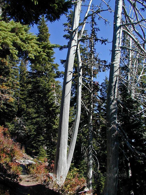 Dead fir that looks like arm bones [Timberline Trail, Mt. Hood Wilderness, Oregon]