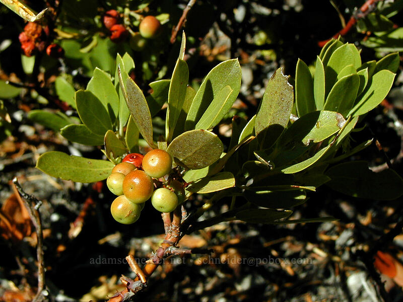 Bearberries (kinnikinnick) [Newton Creek Trail, Mt. Hood Wilderness, Oregon]