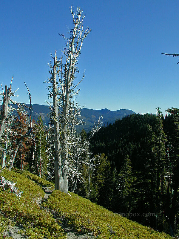dead fir trees [Newton Creek Trail, Mt. Hood Wilderness, Oregon]