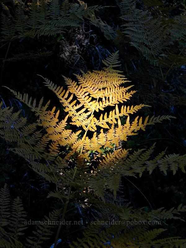 autumn fern [Newton Creek Trail, Mt. Hood Wilderness, Oregon]