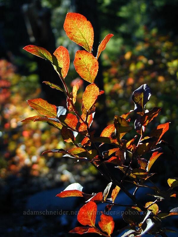 huckleberries ablaze (not literally) [Elk Meadows Trail, Mt. Hood Wilderness, Oregon]