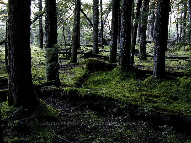 Trees and mossy ground [Lava Canyon Trail, Mt. St. Helens N.V.M., Washington]