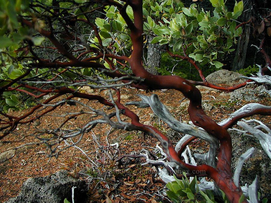 manzanita (Arctostaphylos sp.) [Ruckel Ridge Trail, Columbia River Gorge, Oregon]