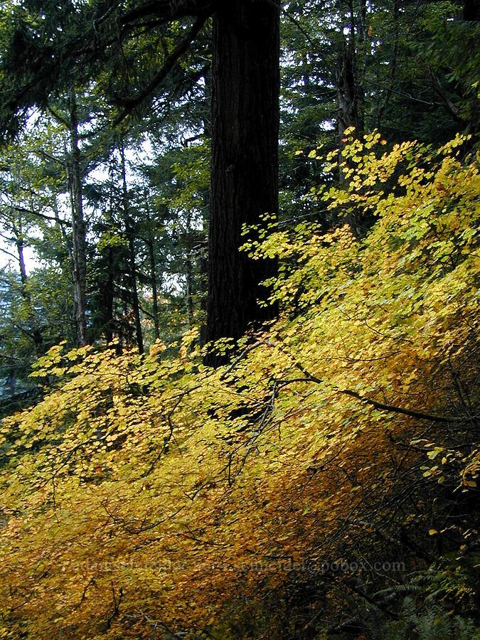 vine maple leaves (Acer circinatum) [Ruckel Creek Trail, Columbia River Gorge, Oregon]
