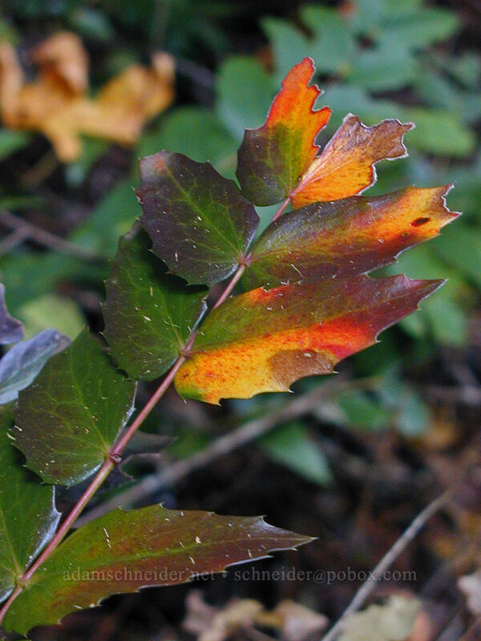 Cascade Oregon-grape (Mahonia nervosa (Berberis nervosa)) [Ruckel Creek Trail, Columbia River Gorge, Oregon]