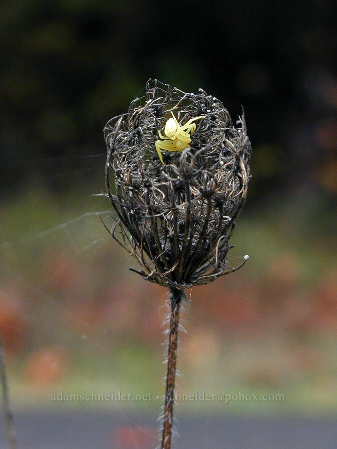 Queen Anne's lace & crab spider (Daucus carota, Misumena vatia) [Old Gorge Highway, Columbia River Gorge, Oregon]