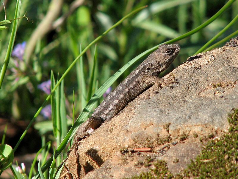 Lizard [Dog Mountain Trail, Columbia River Gorge, Washington]