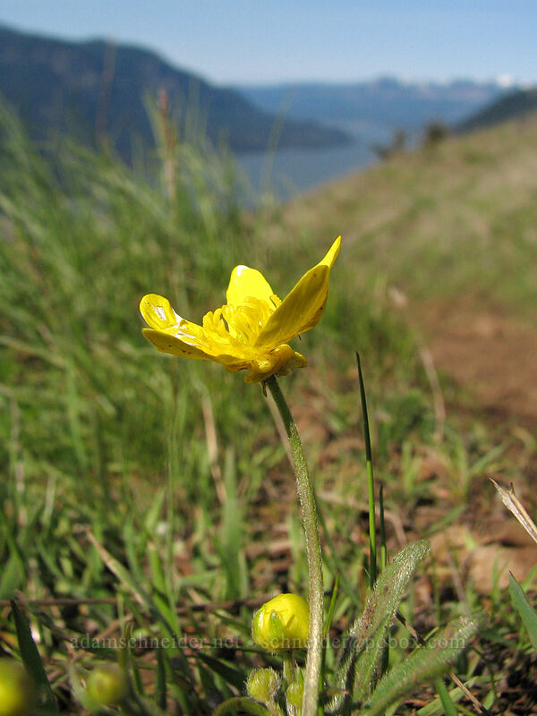 Western buttercup [Dog Mountain Trail, Columbia River Gorge, Washington]