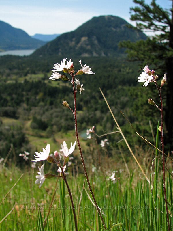 Prairie stars & Wind Mountain (Lithophragma sp.) [Augspurger Trail, Columbia River Gorge, Washington]