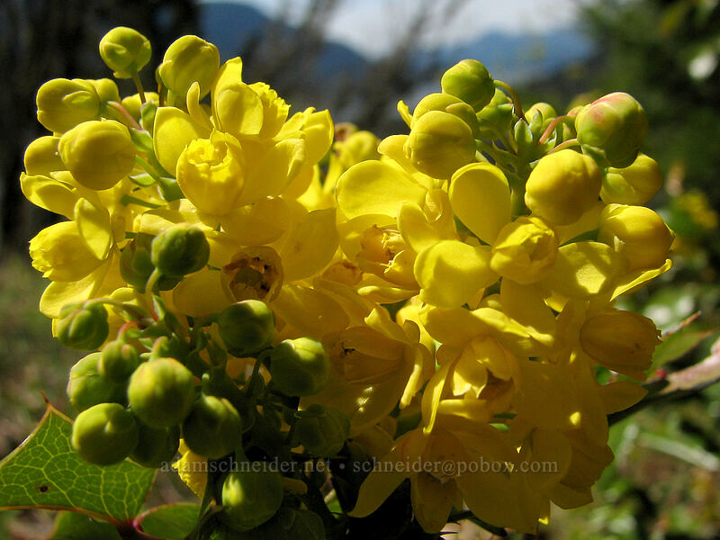 Cascade Oregon grape [Augspurger Trail, Columbia River Gorge, Washington]