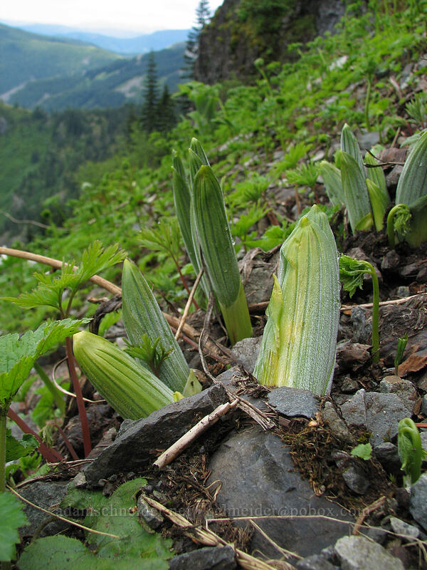 false hellebore (corn lily) shoots (Veratrum viride) [Ed's Trail, Silver Star Mountain, Gifford Pinchot National Forest, Washington]