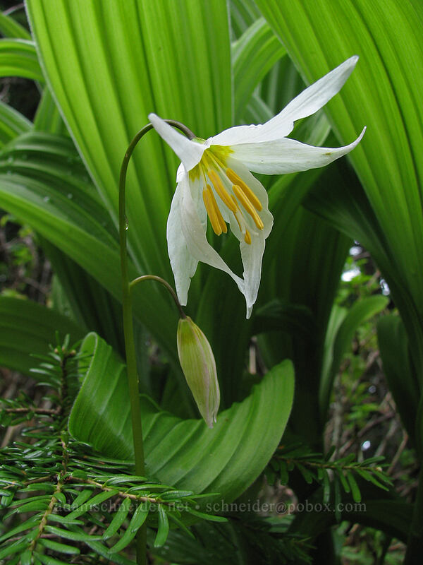 avalanche lily & false hellebore leaves (Erythronium montanum) [Silver Star Mountain Trail, Gifford Pinchot National Forest, Washington]