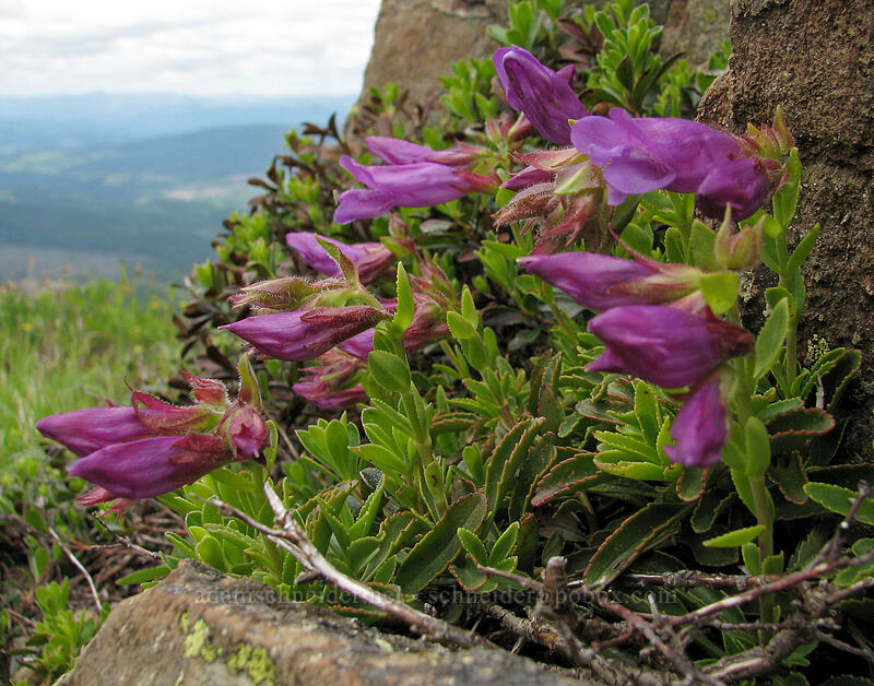 penstemon [Silver Star Mountain Trail, Gifford Pinchot National Forest, Washington]