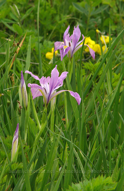 Oregon iris & golden pea [Silver Star Mountain Trail, Gifford Pinchot National Forest, Washington]