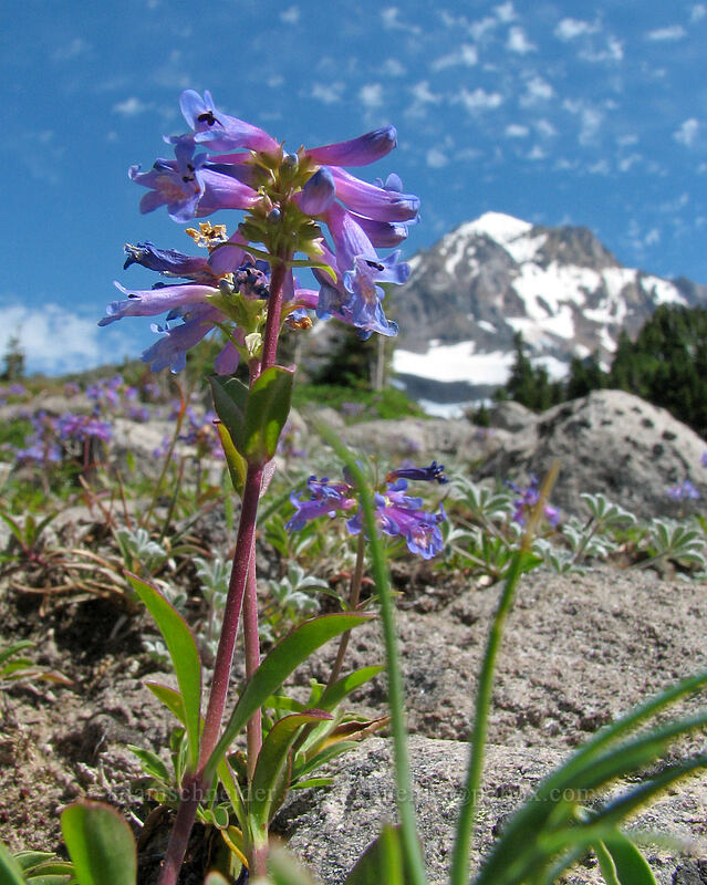 small-flowered penstemon (Penstemon procerus) [McNeil Point Trail, Mt. Hood Wilderness, Oregon]
