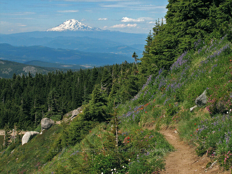 Mount Adams & a wildflower-covered slope [McNeil Point Trail, Mt. Hood Wilderness, Oregon]