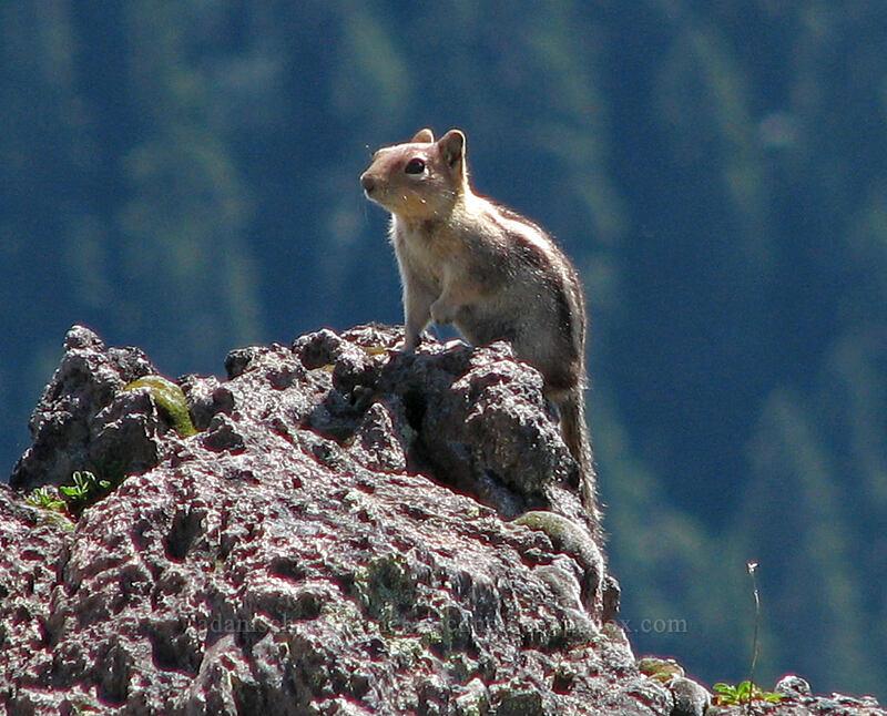 golden-mantled ground squirrel [McNeil Point, Mt. Hood Wilderness, Oregon]