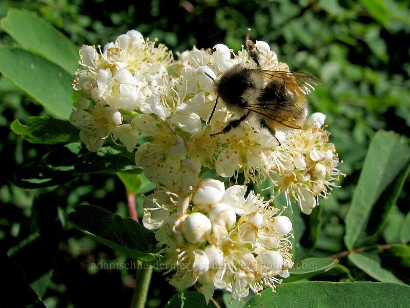bumblebee on Sitka mountain ash [Paradise Park Loop Trail, Mt. Hood Wilderness, Oregon]